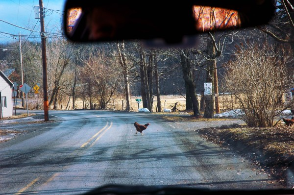 Road Trip Chicken Crossing the Road