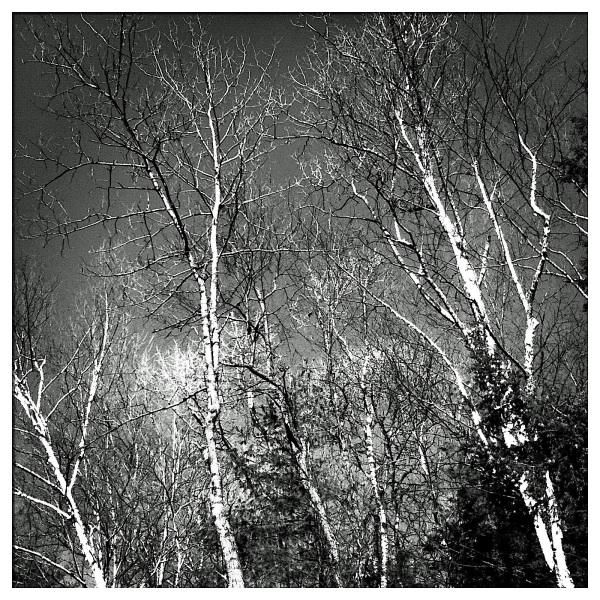 Winter Trees Vermont